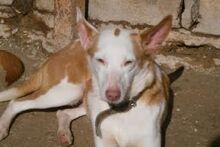 EVE, Hund, Podenco in Spanien - Bild 10