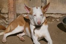 EVE, Hund, Podenco in Spanien - Bild 8