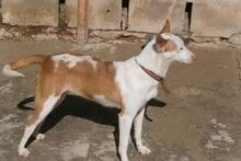 EVE, Hund, Podenco in Spanien - Bild 9