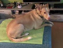 LUIS, Hund, Podenco-Mix in Kronach - Bild 15