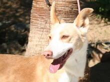VEIKKO, Hund, Podenco-Mix in Spanien - Bild 1