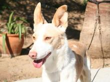 VEIKKO, Hund, Podenco-Mix in Spanien - Bild 3