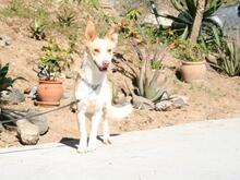 VEIKKO, Hund, Podenco-Mix in Spanien - Bild 4