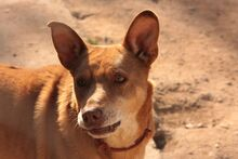 SUNNO, Hund, Podenco-Mix in Spanien - Bild 3