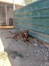 SUNNO, Hund, Podenco-Mix in Spanien - Bild 5