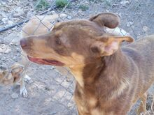 SUNNO, Hund, Podenco-Mix in Spanien - Bild 6