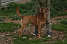 SUNNO, Hund, Podenco-Mix in Spanien - Bild 7