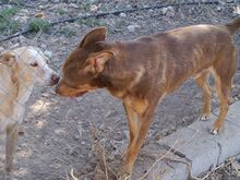 SUNNO, Hund, Podenco-Mix in Spanien - Bild 8
