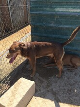 SUNNO, Hund, Podenco-Mix in Spanien - Bild 9