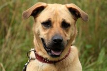 EMMA, Hund, Dogo Canario-Wolfshound-Mix in Neuhausen - Bild 1