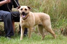 EMMA, Hund, Dogo Canario-Wolfshound-Mix in Neuhausen - Bild 3