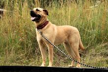 EMMA, Hund, Dogo Canario-Wolfshound-Mix in Neuhausen - Bild 4