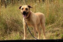 EMMA, Hund, Dogo Canario-Wolfshound-Mix in Neuhausen - Bild 6