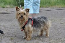 NIKA, Hund, Mini Yorkshire Terrier-Mix in Wetter - Bild 1