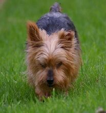 NIKA, Hund, Mini Yorkshire Terrier-Mix in Wetter - Bild 10