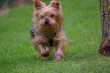 NIKA, Hund, Mini Yorkshire Terrier-Mix in Wetter - Bild 11