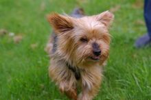 NIKA, Hund, Mini Yorkshire Terrier-Mix in Wetter - Bild 12