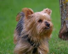 NIKA, Hund, Mini Yorkshire Terrier-Mix in Wetter - Bild 13