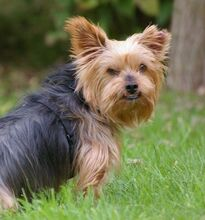 NIKA, Hund, Mini Yorkshire Terrier-Mix in Wetter - Bild 14