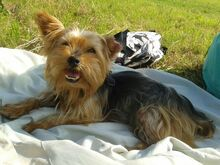 NIKA, Hund, Mini Yorkshire Terrier-Mix in Wetter - Bild 15