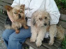 NIKA, Hund, Mini Yorkshire Terrier-Mix in Wetter - Bild 16