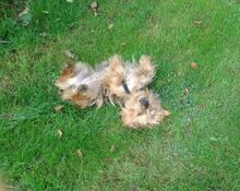 NIKA, Hund, Mini Yorkshire Terrier-Mix in Wetter - Bild 17