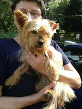NIKA, Hund, Mini Yorkshire Terrier-Mix in Wetter - Bild 18