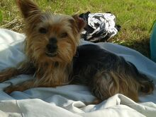 NIKA, Hund, Mini Yorkshire Terrier-Mix in Wetter - Bild 19