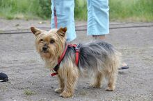 NIKA, Hund, Mini Yorkshire Terrier-Mix in Wetter - Bild 2
