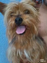 NIKA, Hund, Mini Yorkshire Terrier-Mix in Wetter - Bild 20