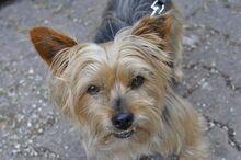 NIKA, Hund, Mini Yorkshire Terrier-Mix in Wetter - Bild 21