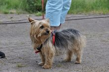 NIKA, Hund, Mini Yorkshire Terrier-Mix in Wetter - Bild 3