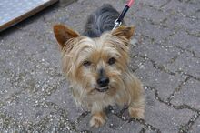NIKA, Hund, Mini Yorkshire Terrier-Mix in Wetter - Bild 4