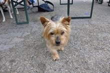NIKA, Hund, Mini Yorkshire Terrier-Mix in Wetter - Bild 5
