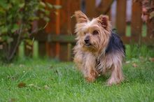 NIKA, Hund, Mini Yorkshire Terrier-Mix in Wetter - Bild 6