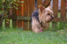 NIKA, Hund, Mini Yorkshire Terrier-Mix in Wetter - Bild 7
