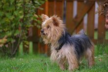 NIKA, Hund, Mini Yorkshire Terrier-Mix in Wetter - Bild 8
