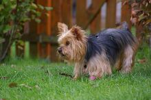 NIKA, Hund, Mini Yorkshire Terrier-Mix in Wetter - Bild 9