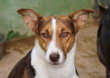 GOOFY, Hund, Podenco-Mix in Spanien - Bild 1