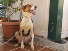 GOOFY, Hund, Podenco-Mix in Spanien - Bild 10