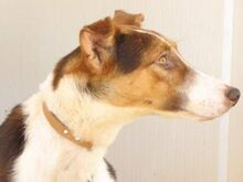 GOOFY, Hund, Podenco-Mix in Spanien - Bild 11