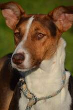 GOOFY, Hund, Podenco-Mix in Spanien - Bild 2