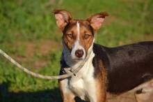 GOOFY, Hund, Podenco-Mix in Spanien - Bild 3