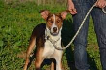GOOFY, Hund, Podenco-Mix in Spanien - Bild 4