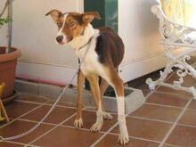 GOOFY, Hund, Podenco-Mix in Spanien - Bild 7