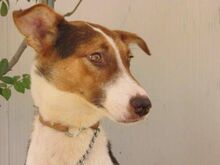 GOOFY, Hund, Podenco-Mix in Spanien - Bild 8