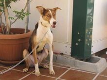 GOOFY, Hund, Podenco-Mix in Spanien - Bild 9