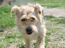 MURRY, Hund, Terrier-Mix in Italien - Bild 1