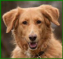 SIMONA, Hund, Golden Retriever-Irish Setter-Mix in Lauf - Bild 1