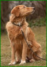 SIMONA, Hund, Golden Retriever-Irish Setter-Mix in Lauf - Bild 11